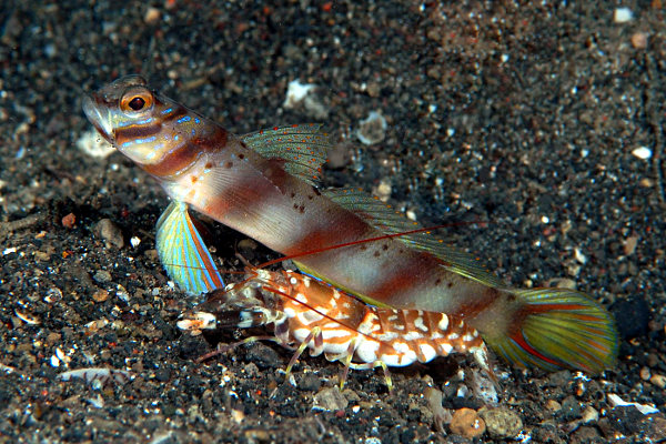 Alpheus goby and shrimp