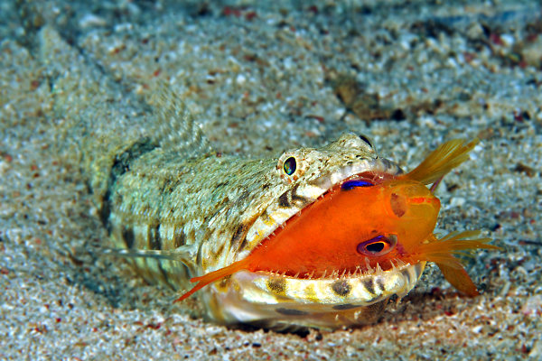 Lizard fish eating anthias