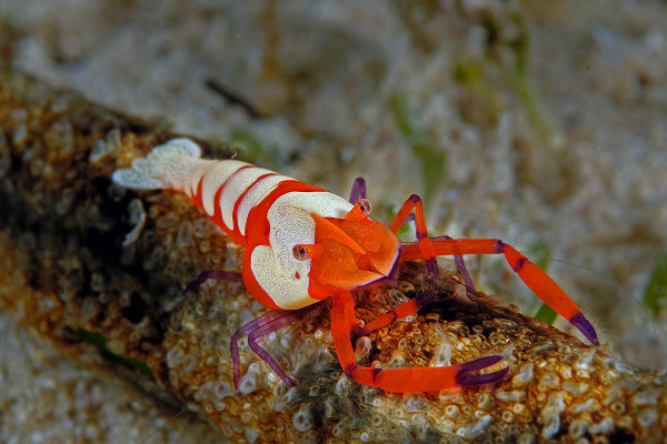 Imperator shrimps