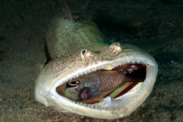 Lizardfish eating damselfish