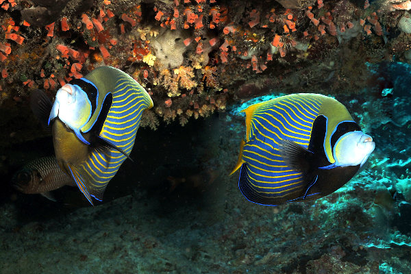 Angelfish pomacantus imperator